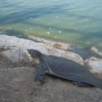 Alexander turtle